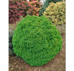 Picea glauca ´Alberta Globe´ / Smrek, 12-15 cm, C3