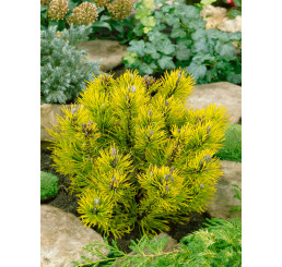 Pinus mugo ´Carsten Wintergold´ / Borovica horská, K9
