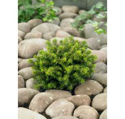 Picea abies ´Little Gem´ / Smrek, 10-12 cm, C1