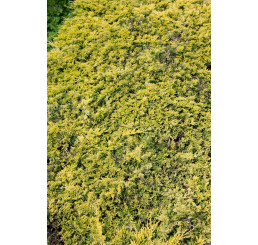 Juniperus horizontalis 'Golden Carpet' / Borievka, C3