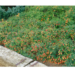 Vaccinium vitis-idaea ´Sanna´/ Brusnica pravá, 10-15 cm, K9