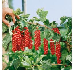 Ribes rubrum ´Rovada´ / Ríbezľa červená, kmienok, 2-3 výh.