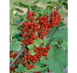 Ribes rubrum ´Trent´ / Červená ríbezľa licenc., krík, VK, 1 výh.