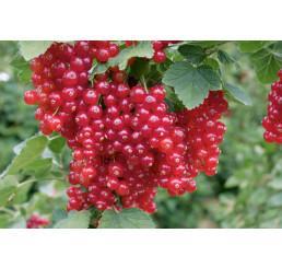 Ribes rubrum ´Red Lake´ / Červená ríbezľa, krík, 2-3 výh.