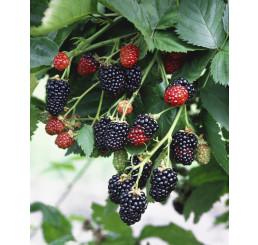 Rubus fruticosus ´Black Satin´ / Černica beztŕňová, K9