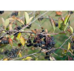Aronia melanocarpa ´Nero´ / Arónia čiernoplodá, K9