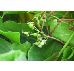Actinidia arguta / Opeľovač kiwi, 20-30 cm, K11, samčia r.