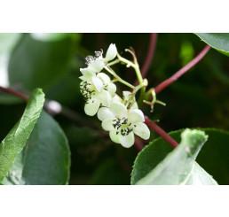Actinidia arguta ´Issai´ / Drobnoplodé kiwi, K9