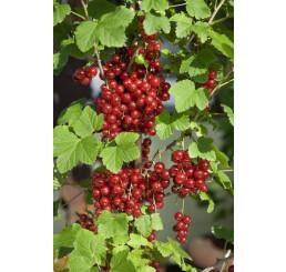 Ribes rubrum ´Red Lake´ / Červená ríbezľa, kmienok, rib.zl.