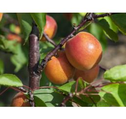 Prunus armeniaca ´Pinkcot´ / Marhuľa skorá, myr.