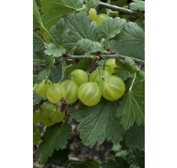 Ribes grossularia ´Invicta´ / Egreš biely rezistentný, štepený krík, VK
