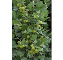 Ribes grossularia ´Invicta´/ Egreš biely rezistentný, kmienok, rib.zl. 4-5 výh.