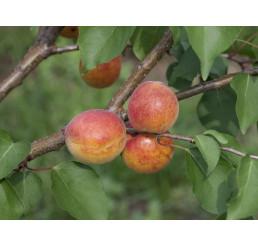 Prunus armeniaca ´Leskora´ / Marhuľa, myr.