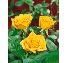 Rosa ´Golden Leader´ / Ruža čajohybrid žltá, krík, BK