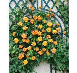 Rosa ´Clg. Sutter´s Gold´ / Ruža popínavá žltá, krík, BK