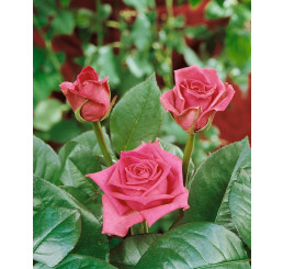 Rosa ´Jacaranda´ / Ruža čajohybrid, KMIENOK 120 cm, BK