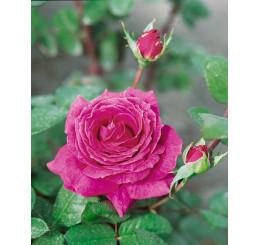 Rosa ´Eminence´ / Ruža čajohybrid lilavá fialová, krík, BK