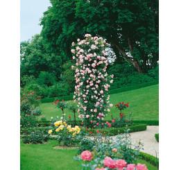 Rosa ´Clg. New Dawn´ / Ruža popínavá ružová, krík, BK