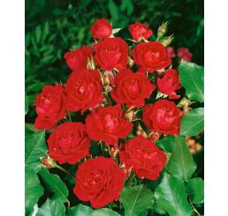 Rosa ´Nina Weibull´ / Ruža mnohokvetá červená, krík, BK