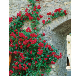 Rosa ´Clg. Paul Scarlet´ / Ruža popínavá červená, krík, BK