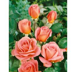 Rosa ´Tiffany´ / Ruža čajohybrid ružová, krík, BK