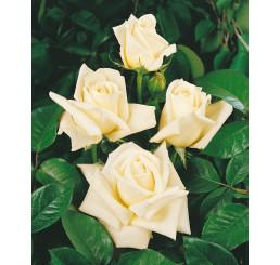 Rosa ´White weekend´ / Ruža čajohybrid biela, krík, BK