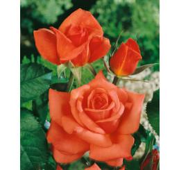 Rosa ´Monica´ / Ruža čajohybrid oranžovočervená, krík, BK