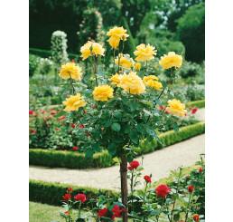Rosa ´Casanova´ / Ruža čajohybrid, KMIENOK 120 cm, BK