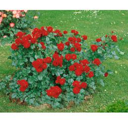 Rosa ´Lavaglut´ / Ruža mnohokvetá červená, krík, BK