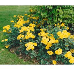 Rosa ´Citron´ / Ruža mnohokvetá žltá, krík, BK