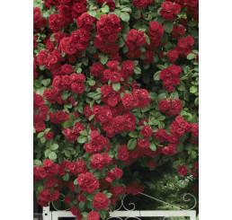 Rosa ´Clg. Crimson Glory´ / Ruža popínavá červená, krík, BK