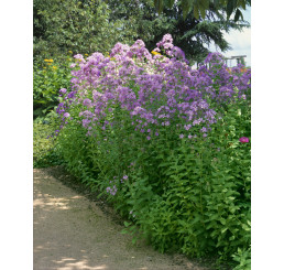 Campanula lactiflora ´Loddon Anna´ / Zvonček širokolistý, C1,5