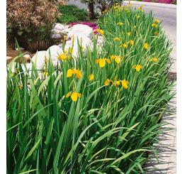 Iris pseudacorus / Kosatec žltý, K11