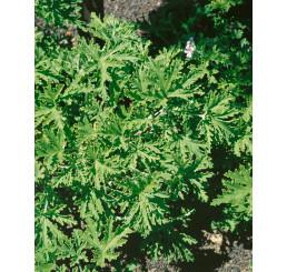 Pelargonium citr. ´Moskito Schocker´ / Muškát odpudzujúci komáre, bal. 6 ks sadbovačov