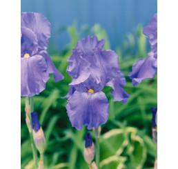Iris germanica ´Blue´ / Kosatec nemecký modrý, I.