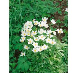 Anemone sylvestris / Veternica lesná biela, C1,5