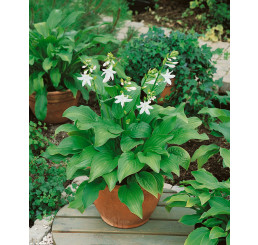 Hosta ´Royal Standard´ / Hosta / Funkia, C1