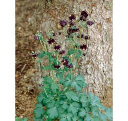Aquilegia vulgaris Black Barlow / Orlíček obyčajný, K9