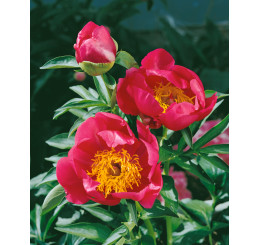 Paeonia lact. ´Flame´ / Pivonka bylinná, C2