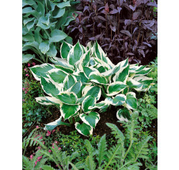Hosta ´Patriot´ / Hosta / Funkia, C1,5