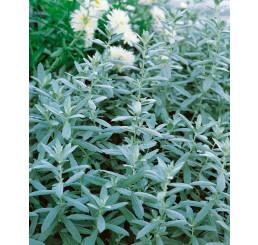 Artemisia absinthium 'Lambrook Silver' / Palina pravá, absint, K9