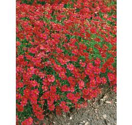 Coreopsis rosea ´American Dream´ / Krásnoočko, C1,5