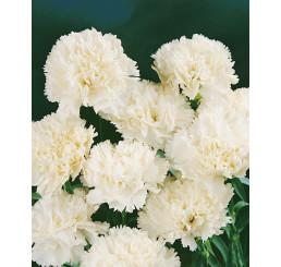 Dianthus ´Perfume Pinks® ´Memories´ / Voňavý klinček, bal. 6 ks, 6x K7