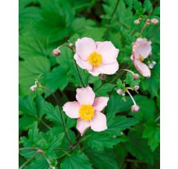 Anemone hupehensis ´Pink Saucer´ / Veternica Hupénska biela až ružová, C1,5