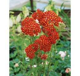 Achillea millefolium ´Paprika´ / Červený rebríček, K9