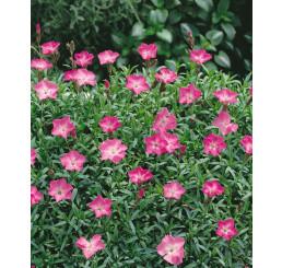 Dianthus gratianopolitanus Rosafeder / Klinček sivý, C1