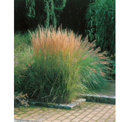 Calamagrostis acutiflora ´Overdam´ / Smlz ostrokvetý, K9