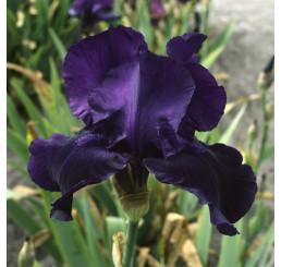 Iris germanica ´Night Owl´ / Kosatec nemecký, I.