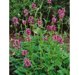 Stachys macrantha / Čistec veľkokvetý, C1,5