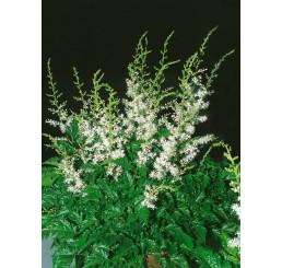 Astilbe simplicifolia 'White Wings'® / Astilba, C1,5
